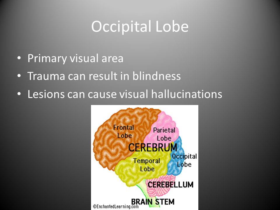 Occipital Lobe Primary visual area Trauma can result in blindness