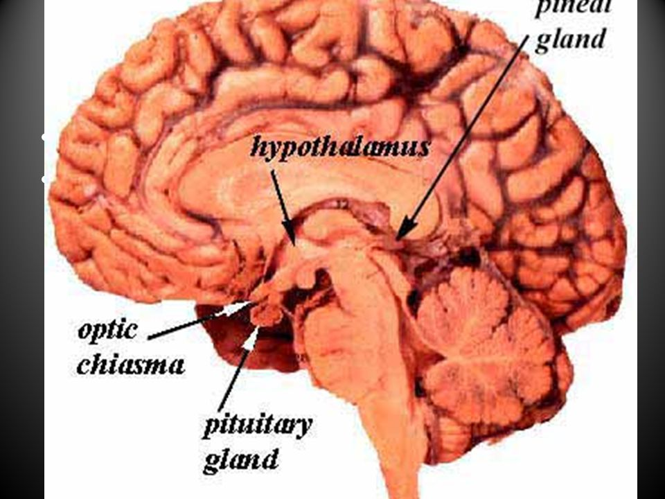 Pituitary Gland Master Gland