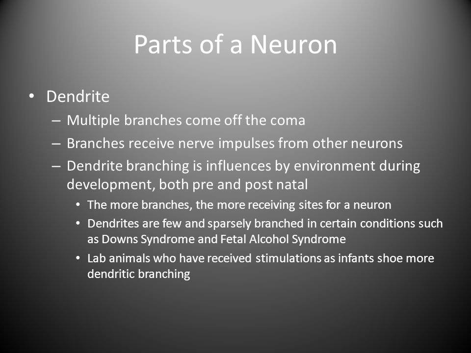 Parts of a Neuron Dendrite Multiple branches come off the coma