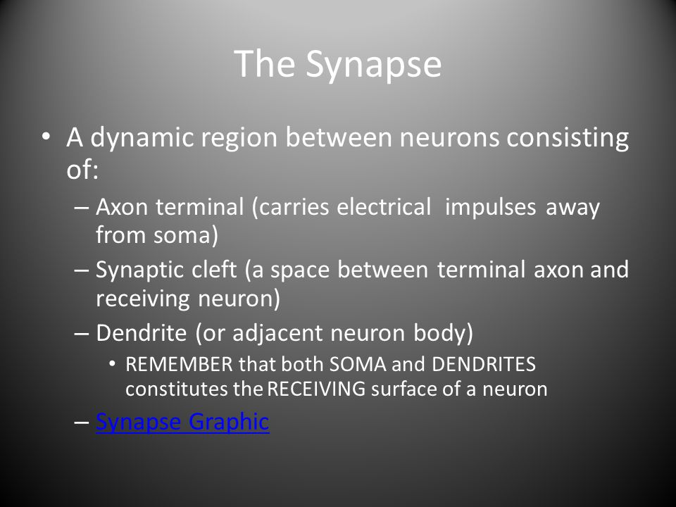 The Synapse A dynamic region between neurons consisting of: