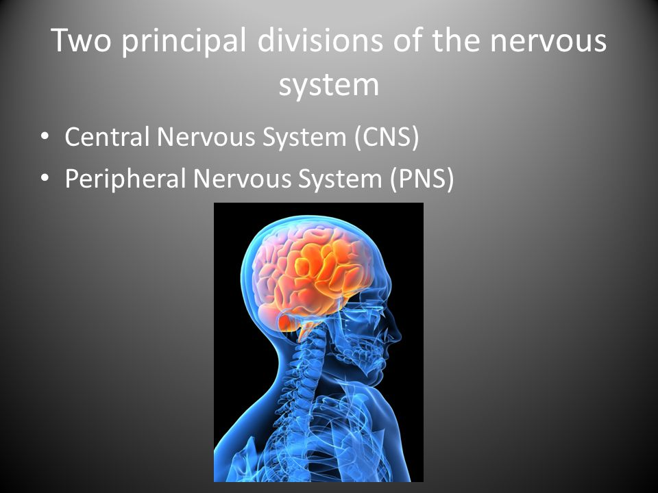 Two principal divisions of the nervous system