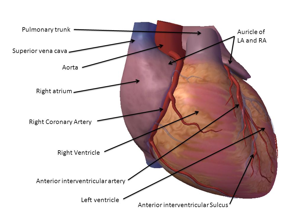 Pulmonary trunk Auricle of LA and RA. Superior vena cava. Aorta. Right atrium. Right Coronary Artery.