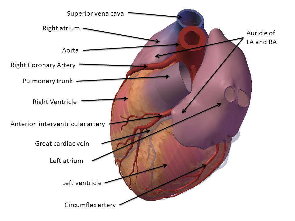 Superior vena cava Right atrium. Auricle of LA and RA. Aorta. Right Coronary Artery. Pulmonary trunk.