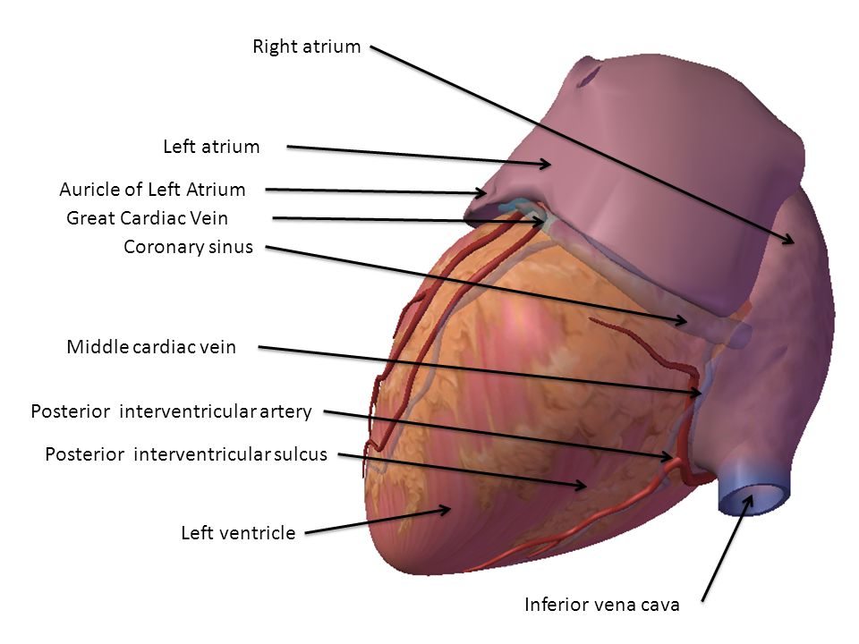 Right atrium Left atrium. Auricle of Left Atrium. Great Cardiac Vein. Coronary sinus. Middle cardiac vein.