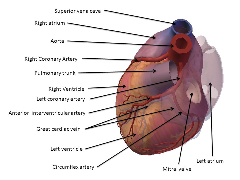 Superior vena cava Right atrium. Aorta. Right Coronary Artery. Pulmonary trunk. Right Ventricle.