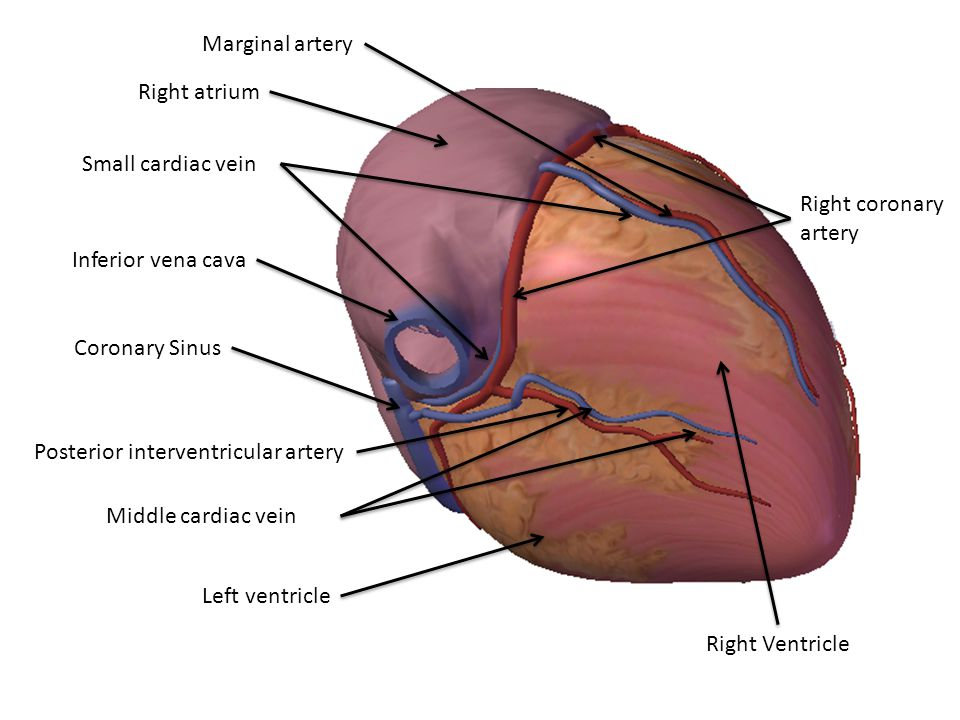 Marginal artery Right atrium. Small cardiac vein. Right coronary. artery. Inferior vena cava. Coronary Sinus.