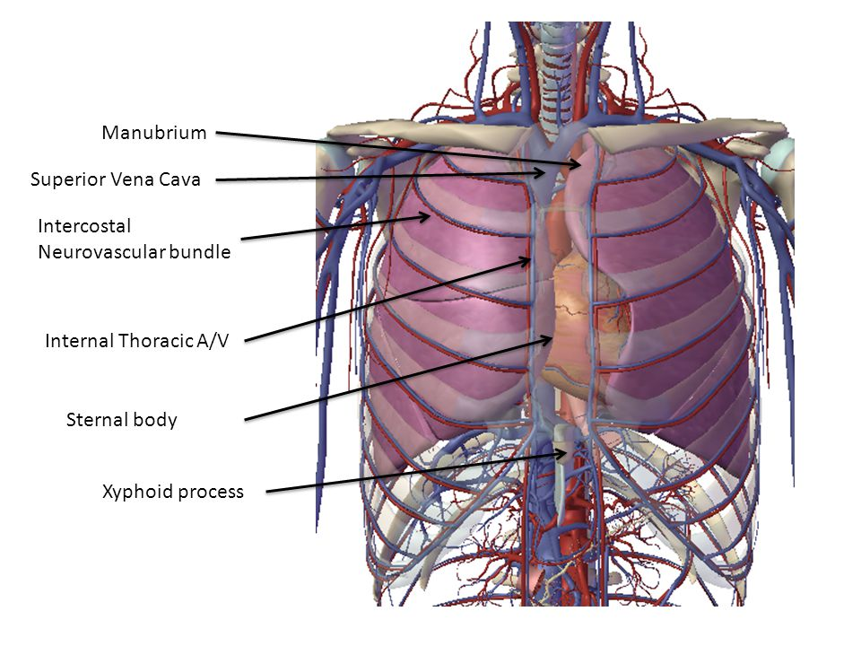 Manubrium Superior Vena Cava. Intercostal Neurovascular bundle. Internal Thoracic A/V. Sternal body.