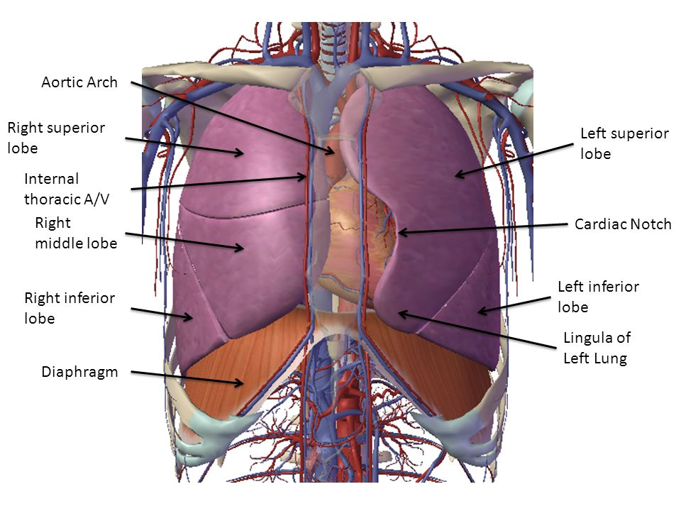Aortic Arch Right superior lobe. Left superior lobe. Internal. thoracic A/V. Right middle lobe.