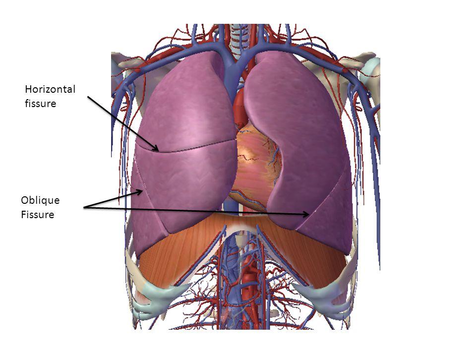 Horizontal fissure Oblique Fissure