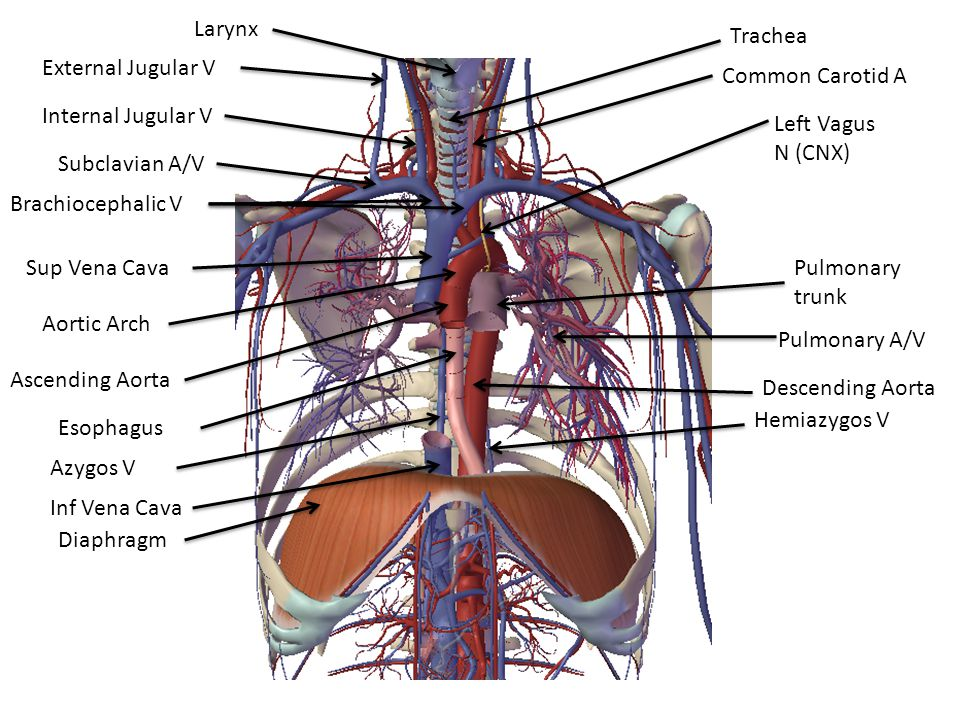 Larynx Trachea. External Jugular V. Common Carotid A. Internal Jugular V. Left Vagus N (CNX) Subclavian A/V.