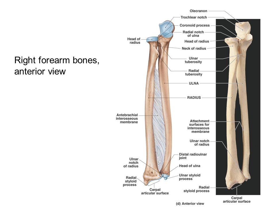 Right forearm bones, anterior view