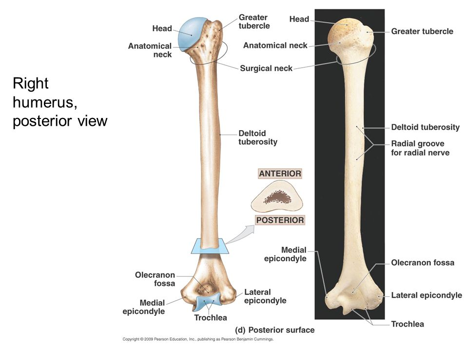 Right humerus, posterior view
