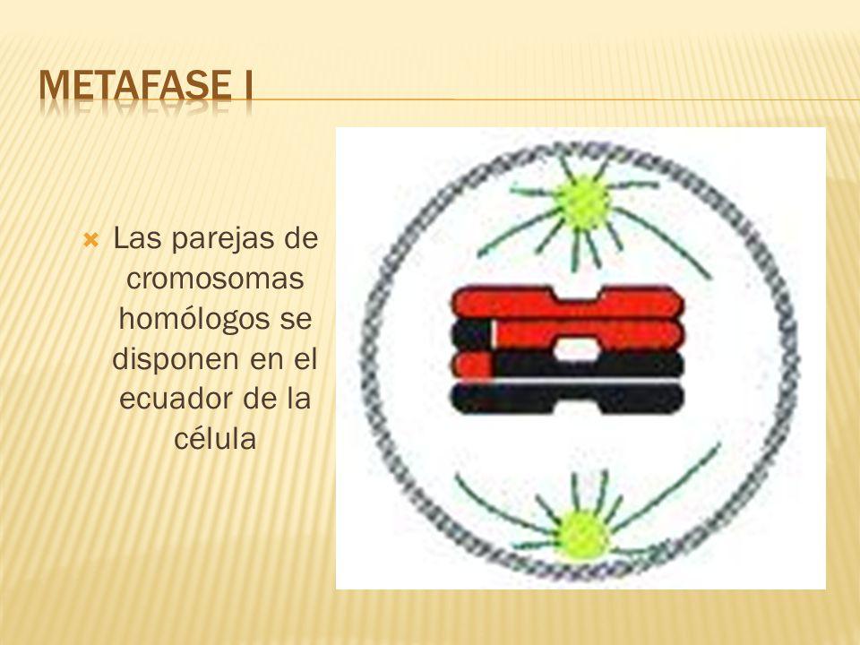 METAFASE I Las parejas de cromosomas homólogos se disponen en el ecuador de la célula