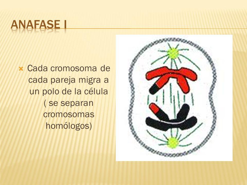 ANAFASE I Cada cromosoma de cada pareja migra a un polo de la célula ( se separan cromosomas homólogos)