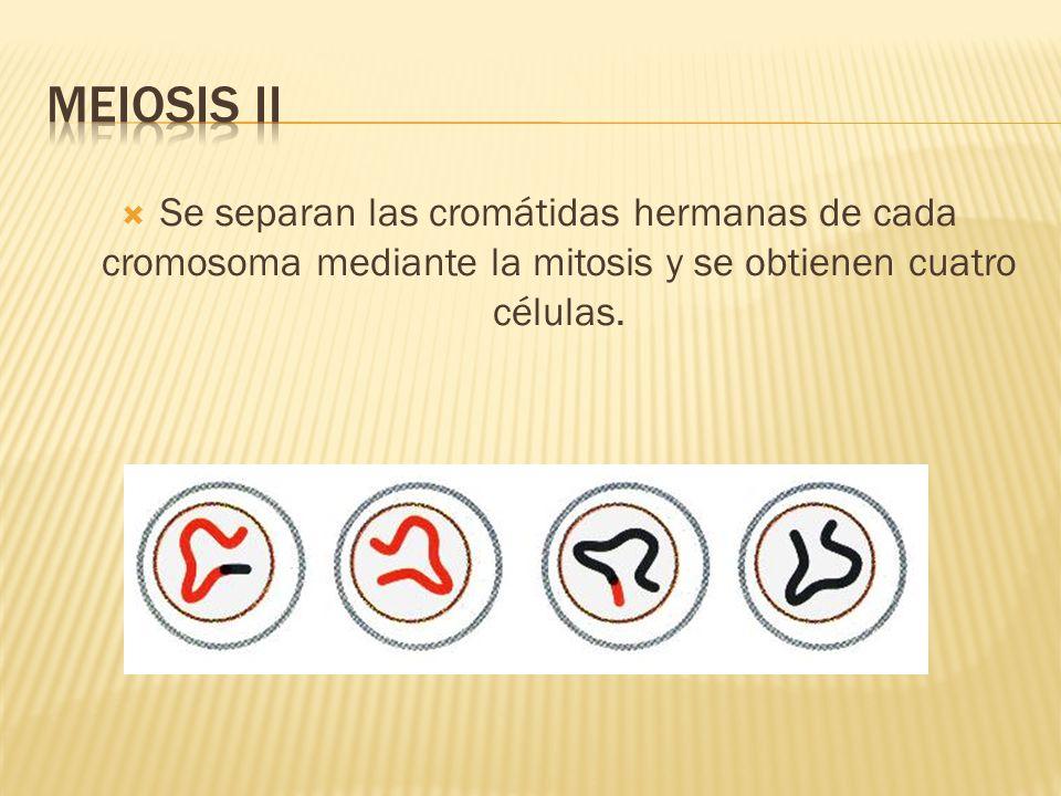 MEIOSIS II Se separan las cromátidas hermanas de cada cromosoma mediante la mitosis y se obtienen cuatro células.