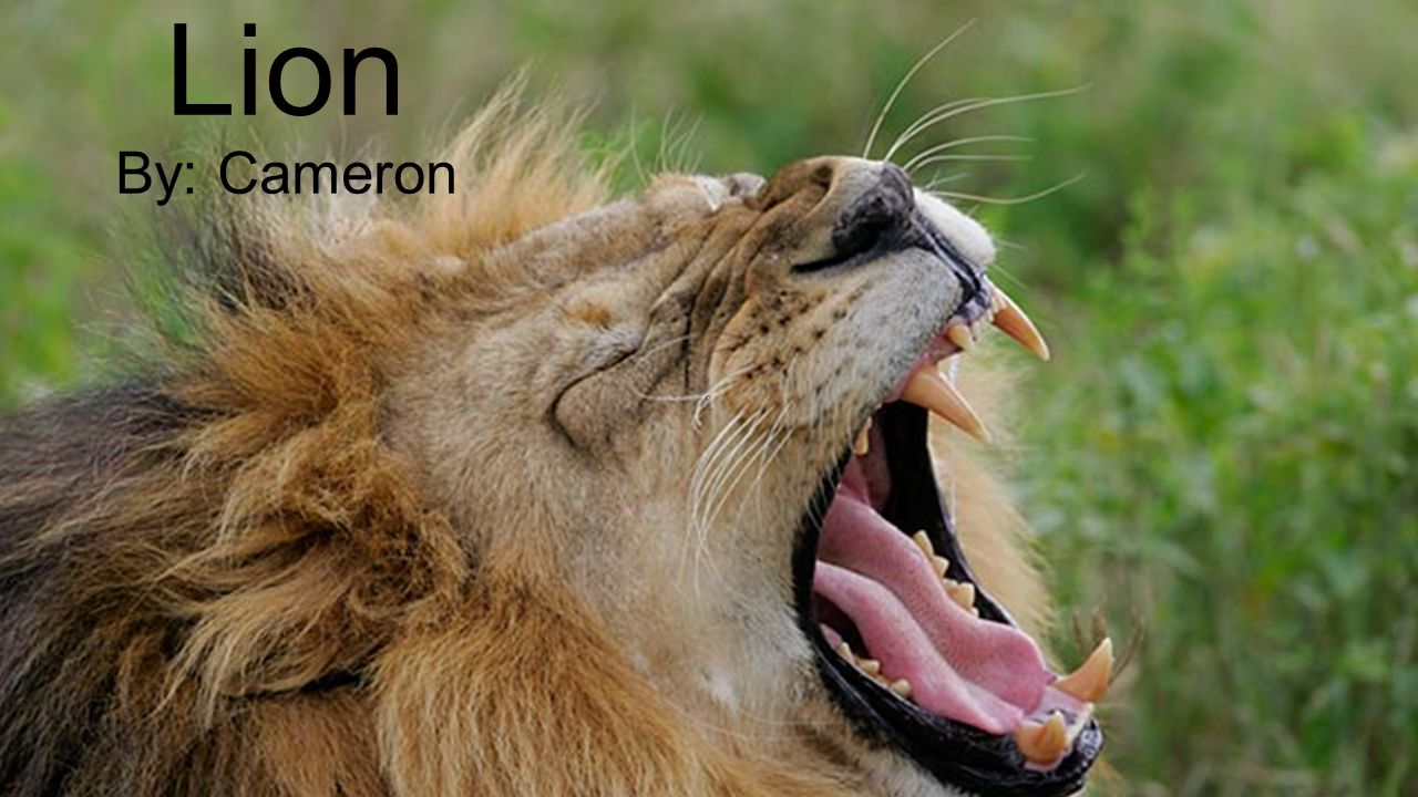 Lion By: Cameron