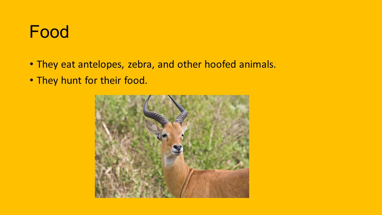 Food They eat antelopes, zebra, and other hoofed animals.