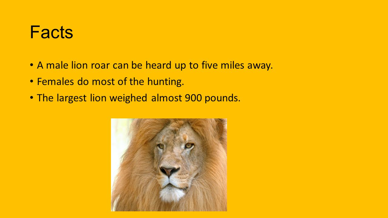 Facts A male lion roar can be heard up to five miles away.