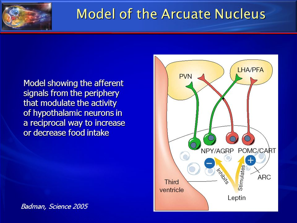 Model of the Arcuate Nucleus