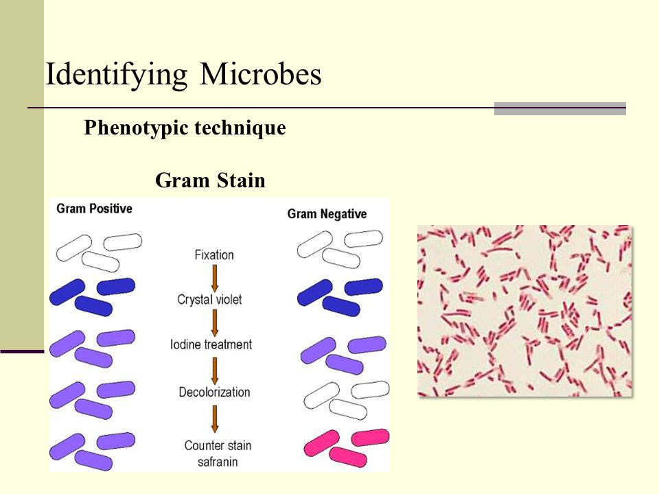 Identifying Microbes Phenotypic technique Gram Stain 24