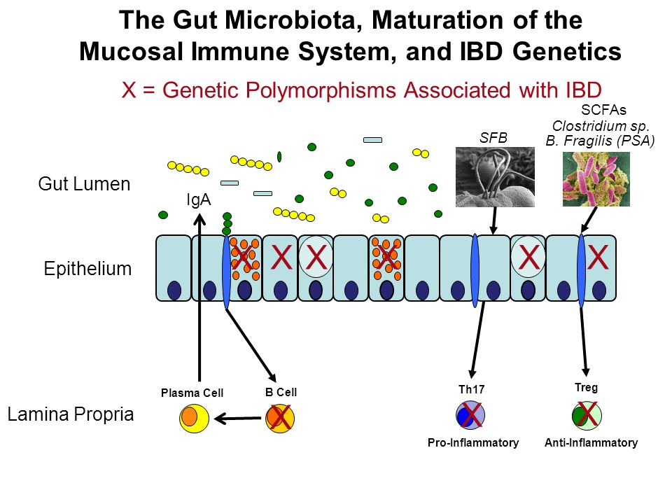 The Gut Microbiota, Maturation of the Mucosal Immune System, and IBD Genetics