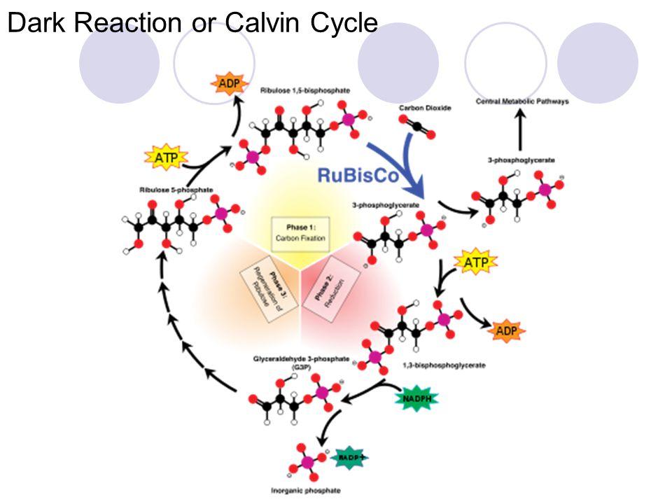 Dark Reaction or Calvin Cycle