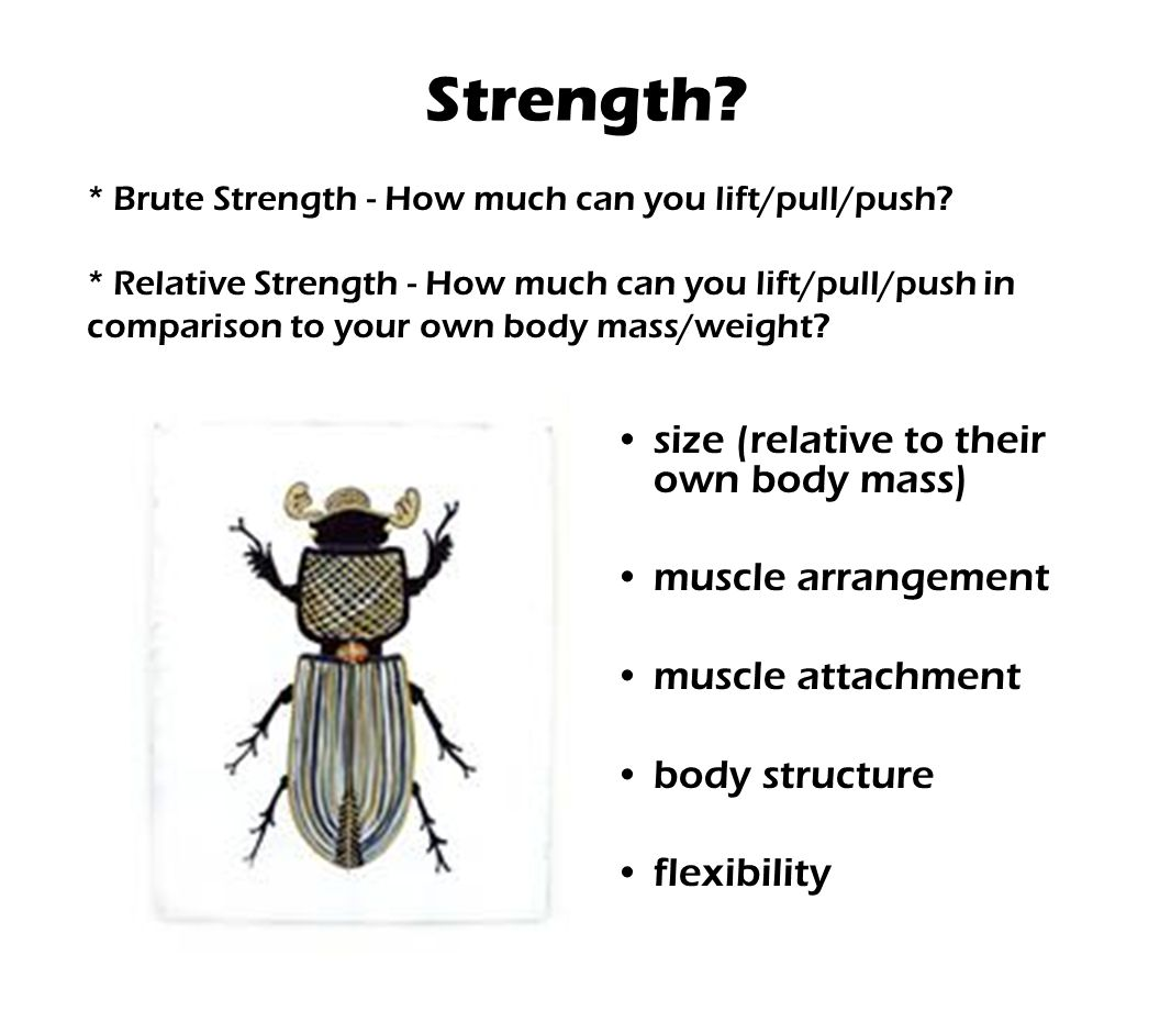 Strength size (relative to their own body mass) muscle arrangement