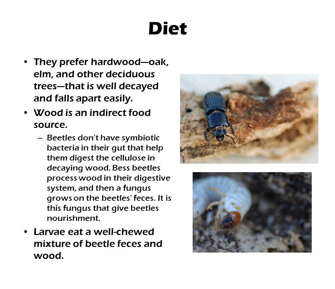 Diet They prefer hardwood—oak, elm, and other deciduous trees—that is well decayed and falls apart easily.
