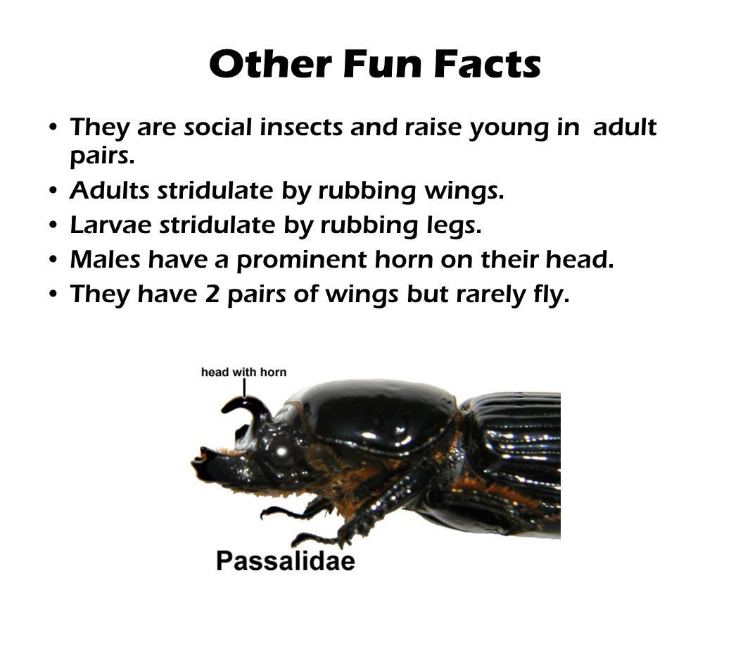 Other Fun Facts They are social insects and raise young in adult pairs. Adults stridulate by rubbing wings.
