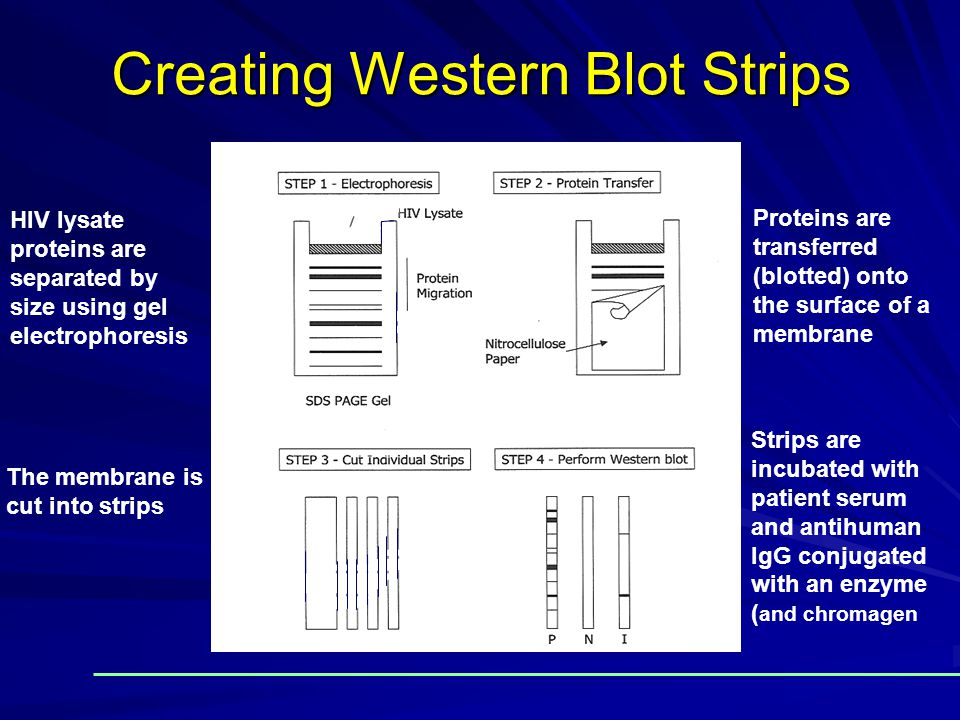 Creating Western Blot Strips