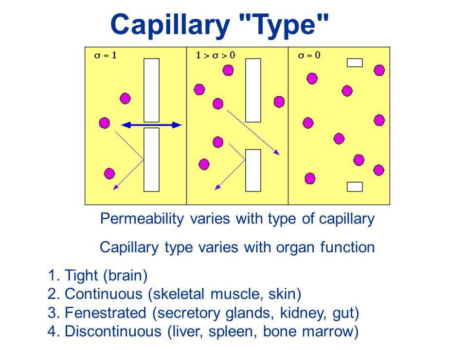 Capillary Type Permeability varies with type of capillary