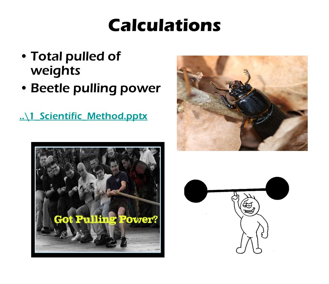Calculations Total pulled of weights Beetle pulling power