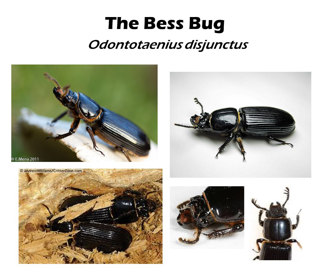 The Bess Bug Odontotaenius disjunctus