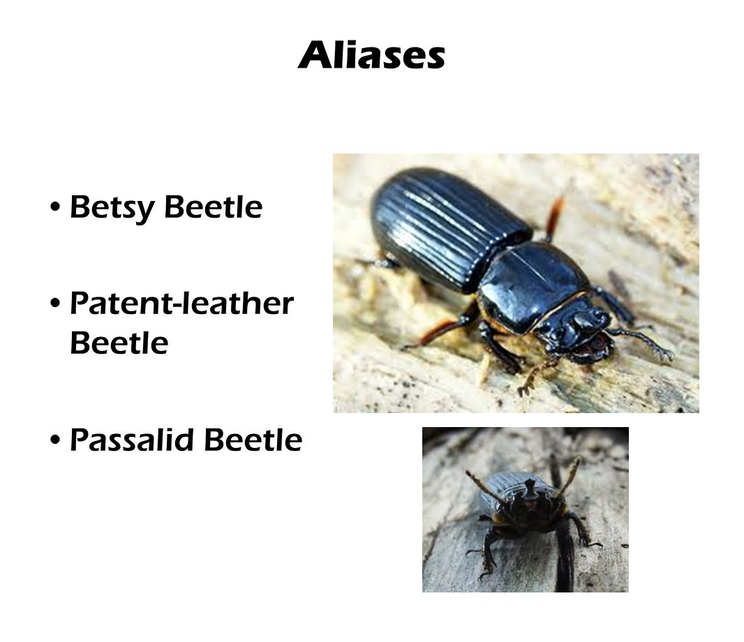 Aliases Betsy Beetle Patent-leather Beetle Passalid Beetle
