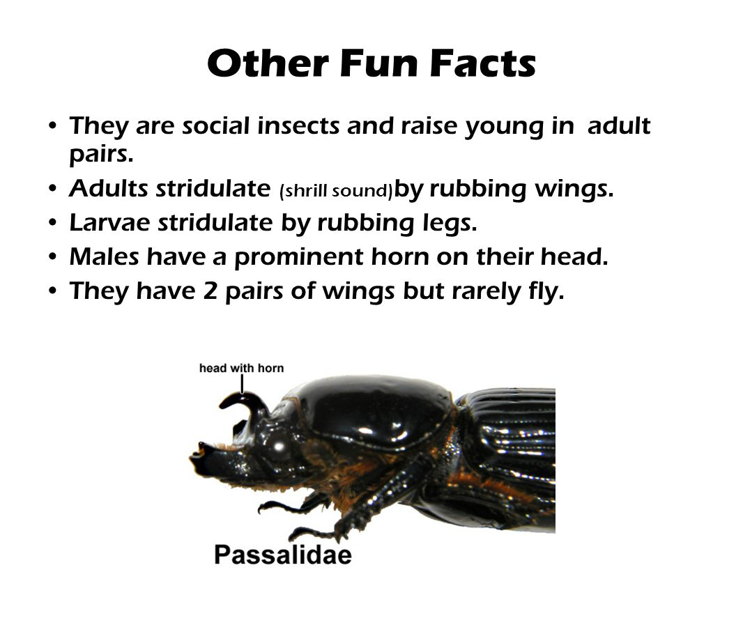 Other Fun Facts They are social insects and raise young in adult pairs. Adults stridulate (shrill sound)by rubbing wings.
