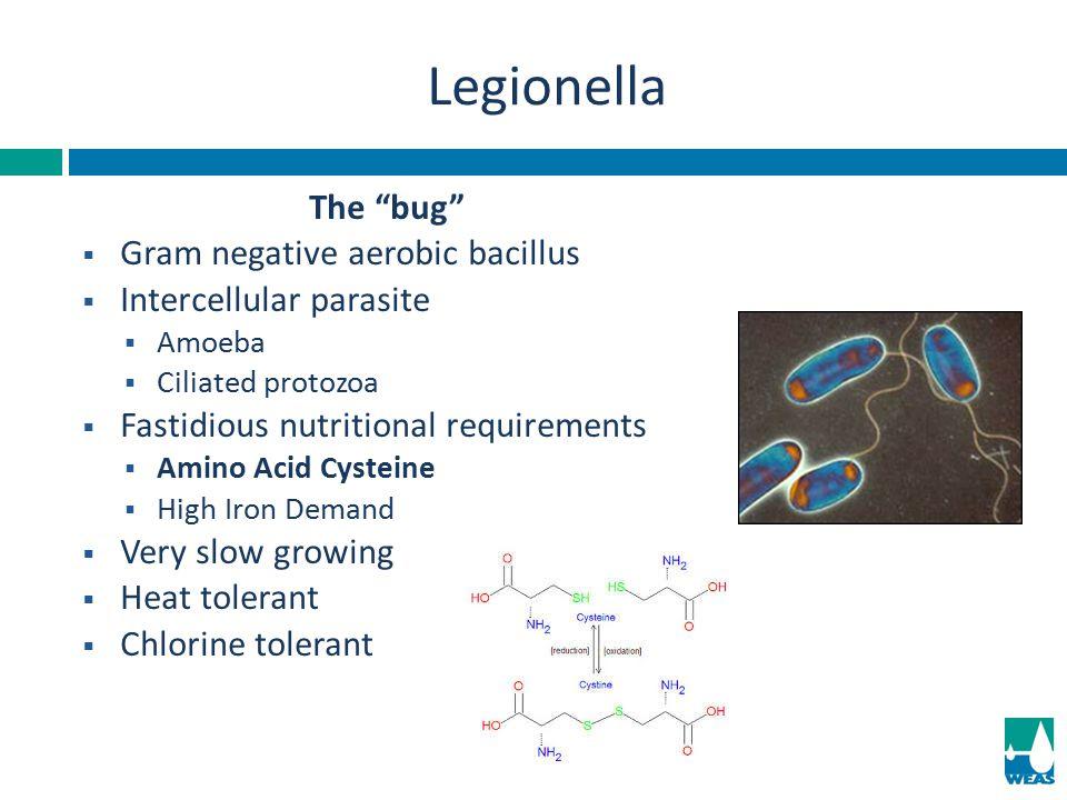 Legionella The bug Gram negative aerobic bacillus