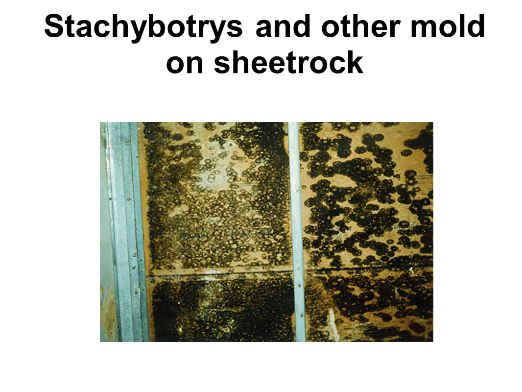 Stachybotrys and other mold on sheetrock