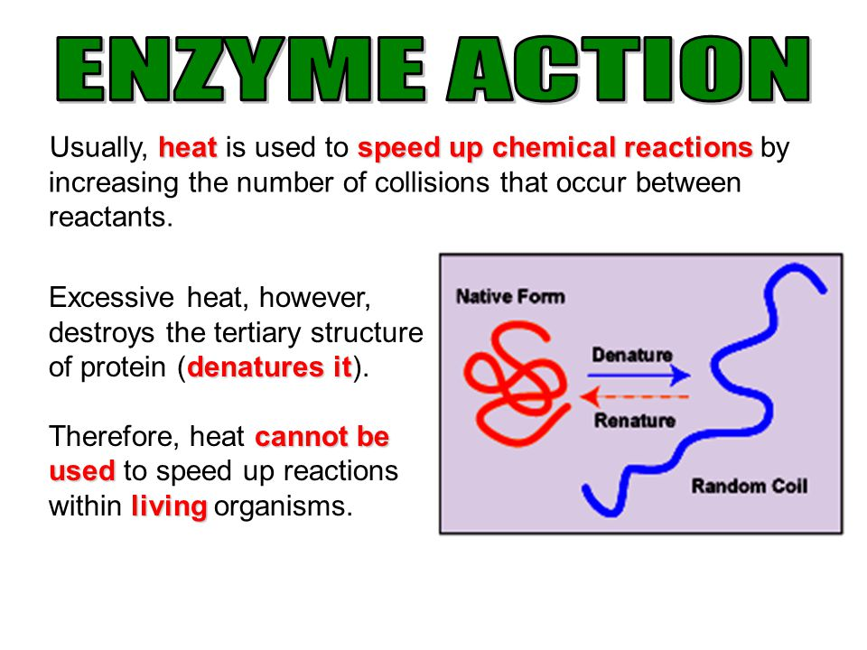 ENZYME ACTION Usually, heat is used to speed up chemical reactions by increasing the number of collisions that occur between reactants.