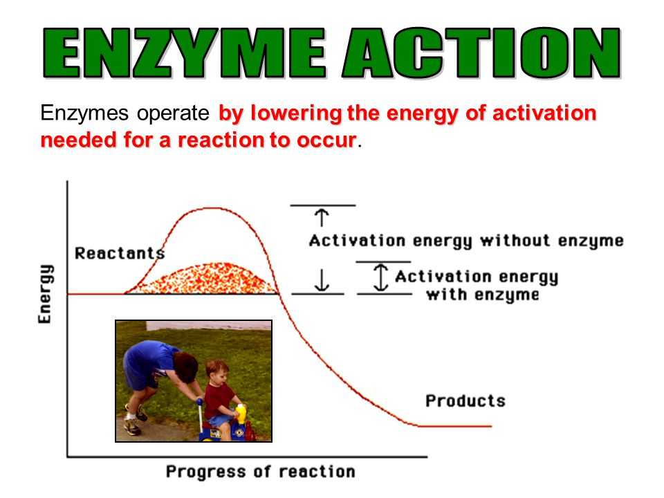 ENZYME ACTION Enzymes operate by lowering the energy of activation needed for a reaction to occur.