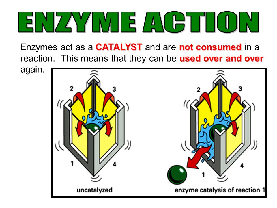 ENZYME ACTION Enzymes act as a CATALYST and are not consumed in a reaction.