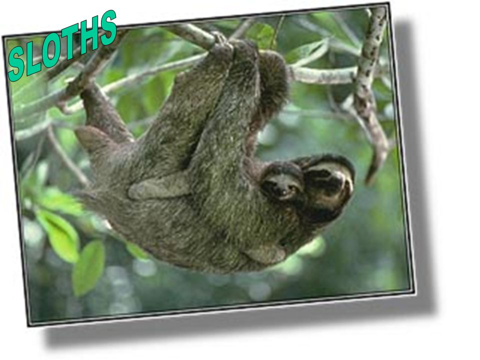 SLOTHS Because of their sloe rate of metabolism they only need to go the bathroom once a week.
