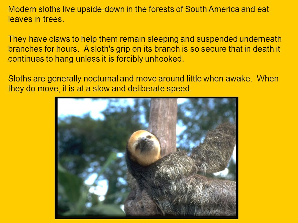 Modern sloths live upside-down in the forests of South America and eat leaves in trees.