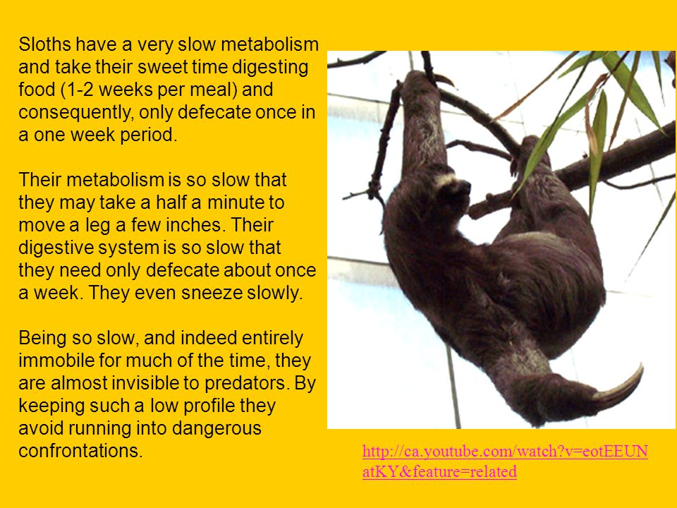 Sloths have a very slow metabolism and take their sweet time digesting food (1-2 weeks per meal) and consequently, only defecate once in a one week period.
