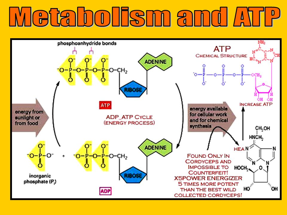 Metabolism and ATP