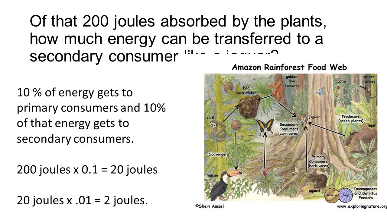 Of that 200 joules absorbed by the plants, how much energy can be transferred to a secondary consumer like a jaguar