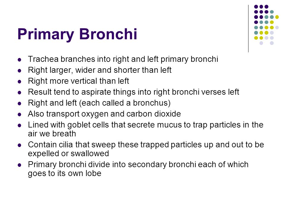 Primary Bronchi Trachea branches into right and left primary bronchi
