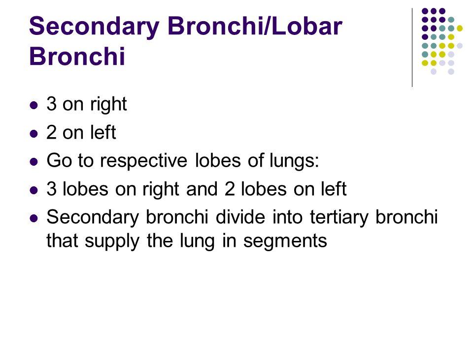 Secondary Bronchi/Lobar Bronchi