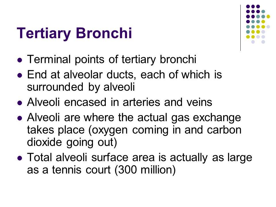 Tertiary Bronchi Terminal points of tertiary bronchi