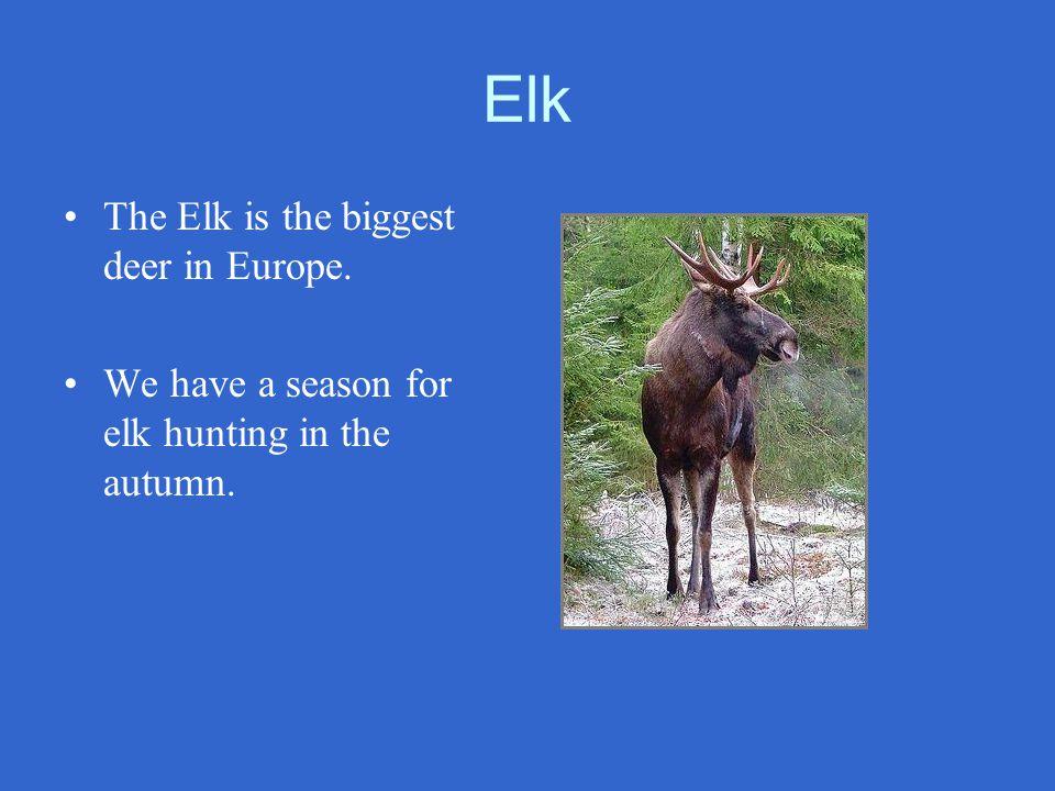 Elk The Elk is the biggest deer in Europe.