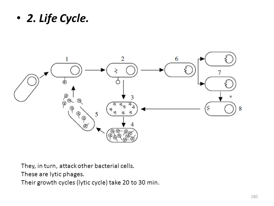 2. Life Cycle. They, in turn, attack other bacterial cells.